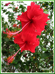 Twin beauties of Red Hibiscus rosa-sinensis 'Archerii' at our church compound, February 11 2009