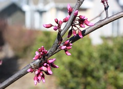 red bud tree, budding