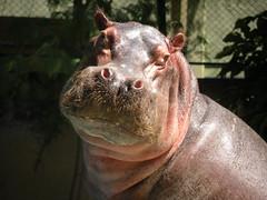 Poser de Peso (.**rickipanema**.) Tags: brazil brasil riodejaneiro zoo hipopotamo riozoo rickipanema paquiderme nikoncoolpixp80 fundaoriozoo