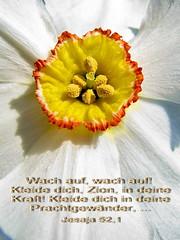 Dichternarzisse (Martin Volpert) Tags: flower fleur blossom faith jesus flor blossoms pflanze kirche blumen bible blomma blume bibbia fiore blte blomst bibel virg gemeinde lore biblia narcissus bloem blten blm narzisse iek narzissen floro kwiat flos osterglocke ciuri blumenbeet kvet kukka cvijet ecclesia flouer narcissuspseudonarcissus blth jesuschristus cvet zieds bibelvers is dichternarzisse floare blome iedas bibelverskarte mavo43 thesuperbmasterpiece heavenlycaptures secretenchantedgardens