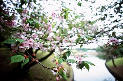 Cherry Blossoms (NateVenture) Tags: color public japan analog subway japanese tokyo iso200 nikon bokeh availablelight wideangle slidefilm transportation 日本 fujifilm 東京 positive pushed nikkor expensive boke provia rare manualfocus provia100f ぼけ fe2 afd 28mmf14d ボケ 2814 pushed1stop 2814d