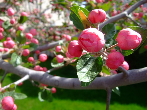 apple buds opening 001