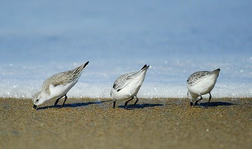 sanderlingsx1