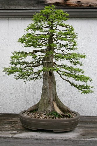 Hinoki Cypress Problems Garden Guides