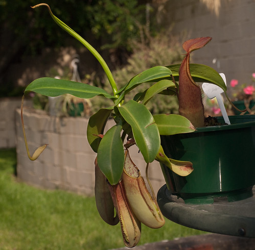 Nepenthes Sanguinea: The Whole Plant