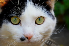 cats eyes (robwiddowson) Tags: pet white black green garden kat pussy kitty puss