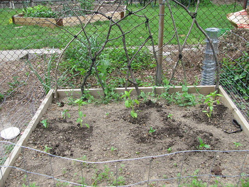 square bed 2: carrots, peppers, peas