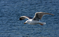 A Lake Capture (Mac West Photography) Tags: lake bird eye water wales flying wings action wildlife gull snapshot flight cardiff fast selected gul seagul platinumphoto diamondclassphotographer flickrdiamond