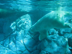 Like A Bear To Water (Tidalist) Tags: australia polarbear queensland seaworld goldcoast