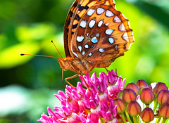 Feeding Fritillary (Uncle Phooey) Tags: pink flowers summer butterfly bokeh sunny buds fritillary butterflyweed supershot unclephooey