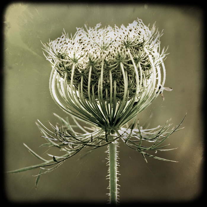 Queen Anne's Lace TTV