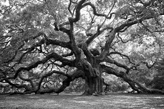 Angel Oak Tree (Dave Schreier) Tags: white black tree nature angel island james oak south carolina huge