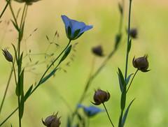 Linum bienne (Sinkha63) Tags: france flower macro fleur prairie wildflower legacy corrze bleue flore limousin blueflower rosepetal beynat linaceae paleflax et supershot linumbienne theunforgettablepictures tup2 natureselegantshots linaces rubyphotographer platinumpeaceaward sailsevenseas linfeuillestroites linbisannuel annesorbes