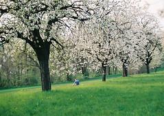 (MilkyAir) Tags: trees film analog iso200 spring blossom poland polska prakticamtl3 milkyair