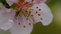 First Start Of Nectarine Blossoms (rosearodoe) Tags: macro tree green fruit spring bokeh blossoms staemens necterine rosemarieseppala rosearodoe michiganfruittreeblossoms