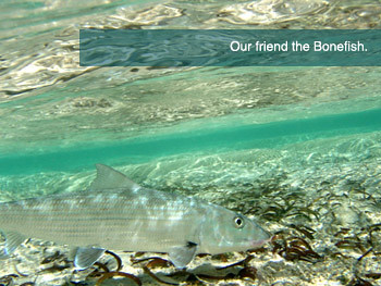 An average sized bonefish