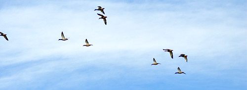 Mallards Takin Flight