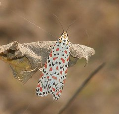 Spotman moth (haneesh) Tags: moth moths indianmoths mothsofindia