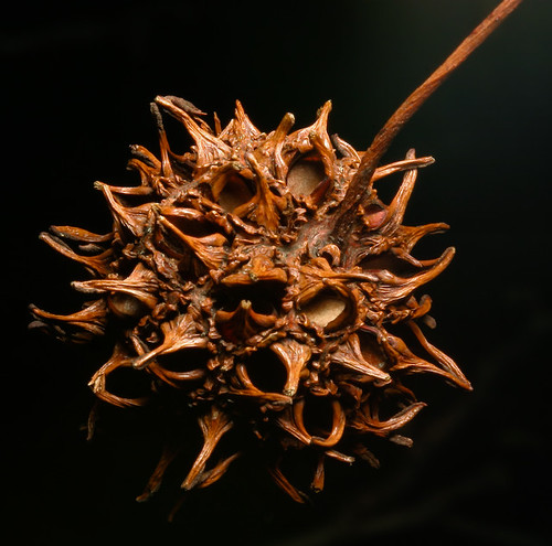 Spring remnant of sweet gum seed head