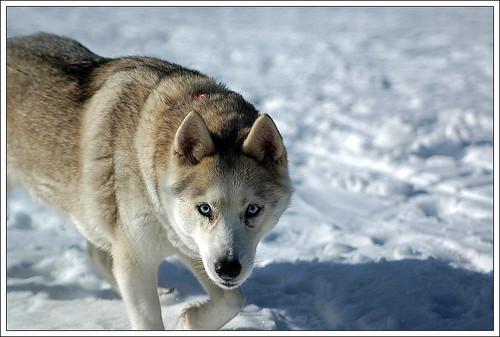 huskey 2