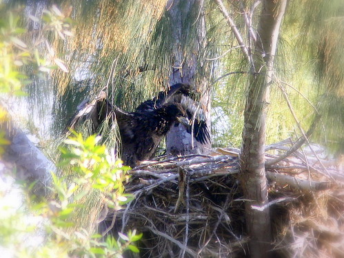 Eaglet Flapping 20090302