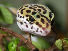 Face of the Gecko (H. Evan Miller) Tags: portrait macro animal nikon reptile lizard gecko herp leopardgecko p80 hevanmiller