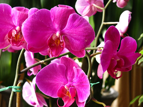 3362408788 6747caecf1 Photo of the Moment Phalaenopsis Orchid