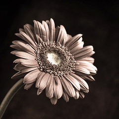 Flowering 2 (Khaled A.K) Tags: flower closeup sepia photography sa saudiarabia khaled ksa saudia kashkari