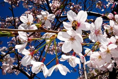 Bee & Cherry Bloom (by Phanix)