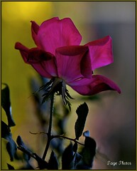 One Word! (iTail ~ Steve Page) Tags: lighting light red flower green love leaves rose canon stem soft dof bokeh rosa romance petal fragrant romantic soe tender gentle meaningful hybrids naturesfinest itail creativelighting hbw fantasticflower bokehlicious abigfave theunforgettablepictures canoneos5dmarkii goldstaraward vosplusbellesphotos