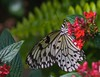 The harlequin (Michael Andrassi) Tags: canada macro nature butterfly nikon quebec d200 theunforgettablepictures michaelandrassi mikeya mmmikey2007 105mmf28microvr tup2