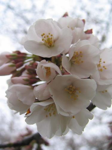 Cherry Blossoms '09