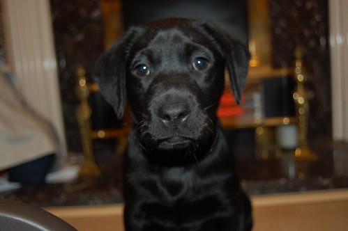 black Labrador Retriever -Ember