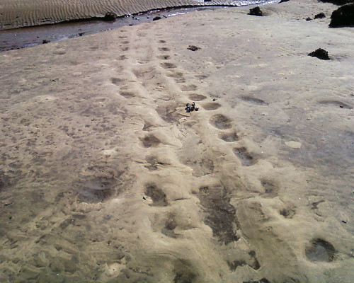 sea turtle tracks?