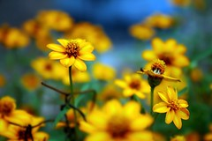 March 31 2009 (AgniMax) Tags: flowers plant nature beautiful yellow canon geotagged march flora bokeh 1855mm beautifulcolors excellence march31 beautifulnature canoneos400d canonrebelxti