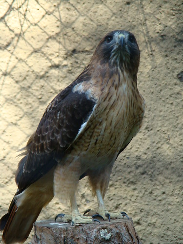 Red-tailed Hawk at the Los Angeles Zoo