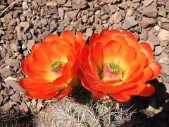 Cactus Blossoms at the Desert Botanical Garden