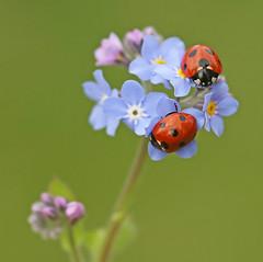 Ladybirds on forget-me-not (nutmeg66) Tags: searchthebest ladybird forgetmenot soe naturesfinest blueribbonwinner bej mywinners abigfave twtmeiconoftheday platinumphoto theperfectphotographer vosplusbellesphotos ubej