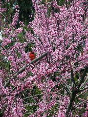 Cardinal in a Redbud (leafytreeful) Tags: flowers red flower bird cardinal lexington kentucky arboretum lexingtonky redbud universityofkentucky ukarboretum