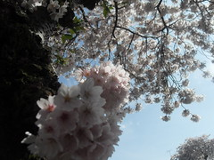 Blossom From Below (Ceiridwen) Tags: street pink blue sky blossom southend southchurch