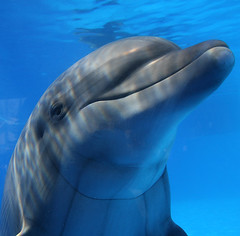 Smiling Dolphin (Eldad Hagar (Please support Hope For Paws)) Tags: blue eye beautiful fun amazing eyes dolphin dolphins mammals occular eldadhagar hopeforpaws ourliveshavegonetothedogs dolphinseye