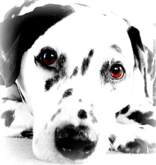 Eddie the dalmation (goreckidawn) Tags: dog white black cute dogs woof up animal four eyes furry whimsy close legs echo dalmation spots cuddly legged