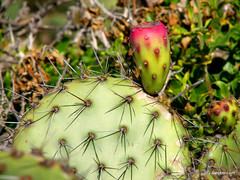 Prickly Pear Cactus (Kimballville (historical), California, United States) Photo