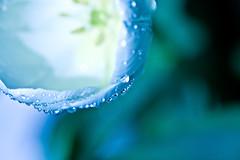 (mslori411 (Flickr break)) Tags: blue white black macro green yellow sparkles drops raw bokeh naturallight tulip desaturated karma waterdrops hmb hbm 100mmmacro mondayblues explored frontpageexplore natureycrap canon40d everydayishappybokehday bokehpalooza bokehholics bokehholicsanonymous