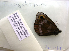 Erebia cyclopia