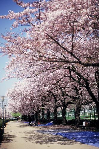 Un ciel bleu et un arbre de la cerise1 -Sakura2009 #48-