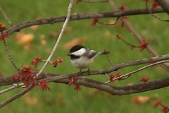 chicadee black caped