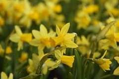 Dwarf Daffodills (lorijohernandez) Tags: photowalk grandrapids abeautifulevening covenantcrc