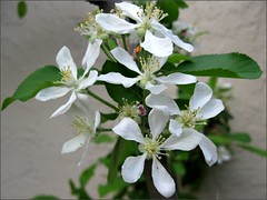 Apple Blossom white