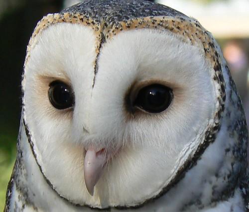 Masked Owl - Unmasked!